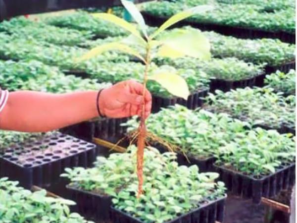 Teak_Hardwoods_Plantation_1999_2003_2