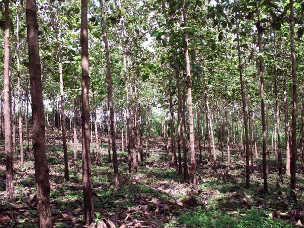 Teak_Hardwoods_Plantation_2005_3