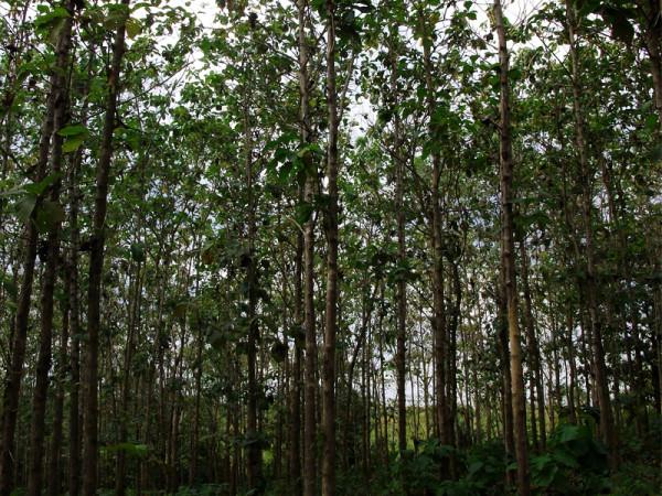 Teak_Hardwoods_Plantation_2010_3